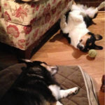 Good Night Corgi Nation …