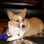 Good News Update: Kansas Corgi Tucker & Family!