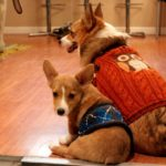 Big Corgi, Little Corgi: Lilu and Ein!