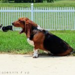Massive Corgi-Eating Basset Hounds?!