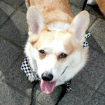 2013 Corgi Walk In The Pearl!