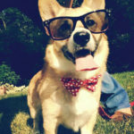 Hipster Corgi … he's doing it right!