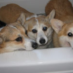 Rub-a-Dub-Dub, 3 Corgis In A Tub!