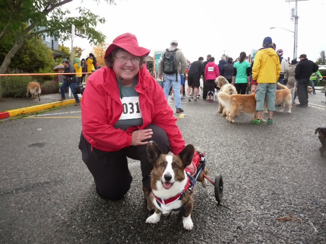 Oliver On Wheels, Fastest Corgi In the 5K!