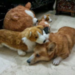 Corgi Huddle: Kroket and Crew
