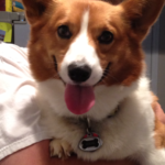 Saturday Smiler: Ducky the Rescued Corgi!