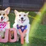 The Joy of #Corgis: Gatsby and Scout!