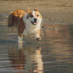 Coastal Corgis Rock! Summertime Dreams.