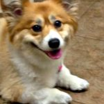 Saturday #Corgi Smiler: Ellie!