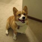 Catching Up with CorgiPals: Announcement Time!