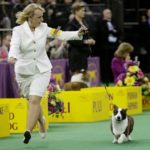 Cardigan Welsh Corgi Coco Posh Takes Best of Breed / Best of Herding Group at Westminster 2014!