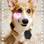 A Very #Corgi Valentine's Day!