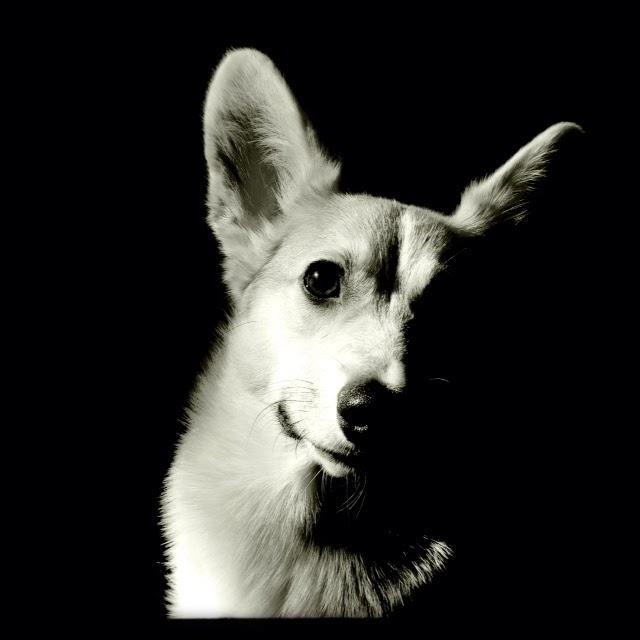 Lola: #Corgi Love In Black & White