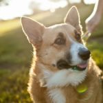 Top Ten Reasons Why People Foster #Corgis!
