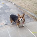 Adoptable Thursdays: Brody the #Corgi of Rhode Island