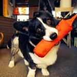Preview Cam: Pippin the Cardigan Welsh #Corgi of Alaska!