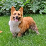 Gracie : Ode to Joy! (and tennis balls and mud and #Corgi fraps in the grass).