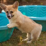#Corgi Picnic: Everybody In the Pool!