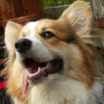 Saturday #Corgi Smiler: Gizmo!