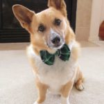 TGIF! 29 #Corgis in Bowties