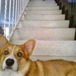 I always feel like some Corgi's watching me …
