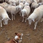 Boss #Corgi Kally Meets the Flock!