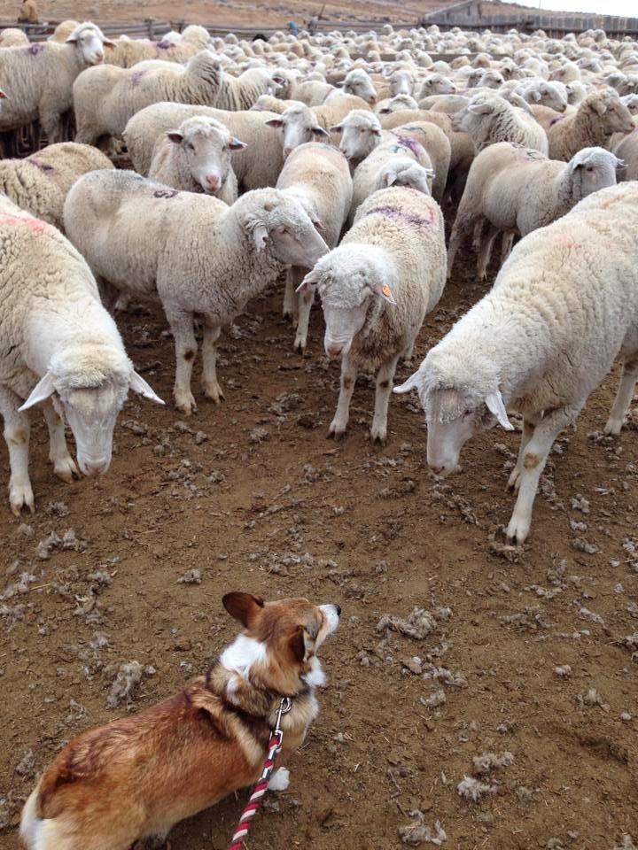 Boss #Corgi Kally Meets the Flock!