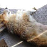38 Sleeping #Corgis (and another Jasper haiku).