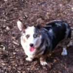 Rescue Spotlight:  Sunshine #Corgi Rescue