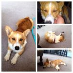 Thursday Adoptables: Buddy the #Corgi!