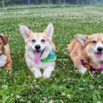 Saturday Corgi Smilers: Ozzie, Wally and The Amazing Adventures of Hazel Bear!