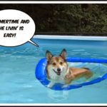 The Daily #Corgi on Summer Stay-cation!