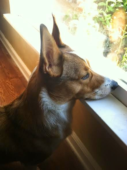 #Corgi Window Watchers: Friday ENCORE!