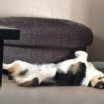 Oliver's Pre-Nap #Corgi DERP!