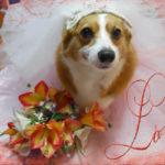 A Very #Corgi Wedding Week: Ernie Corgi and Chloe Anne Johnson!