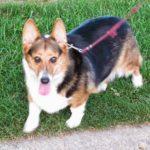 Thursday #Corgi Adoptables: Max's Happy Tail Story!