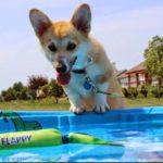Summer Fun: #Corgis and Their Personal Pools!
