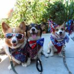 A Very #Corgi 4th of July!