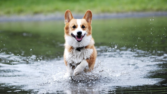 Splish Splash Summer: #Corgis Gettin' Wet!