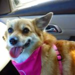 Thursday #Corgi Adoptables: Happy Endings, New Beginnings!