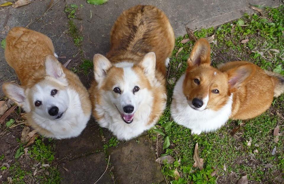 Saturday #Corgi Smilers: Ernie, Ozzy, and Angie!