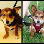 Thursday #Corgi Adoptables: From Foster to Forever!