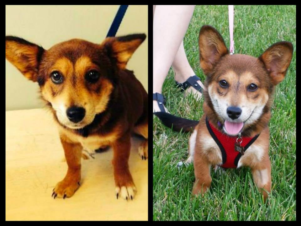 Thursday #Corgi Adoptables: From Foster to Forever!