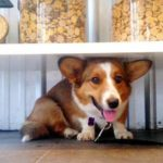 Saturday #Corgi Smiler: Sydney!