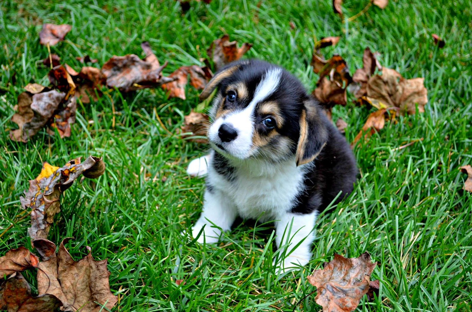 Rugby the #Corgi Puppy: FALL-ing in Love!