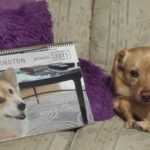 Jasper Islington, #Corgi of the People: Haikus, Thunder Paws and His 2015 Calendar!