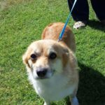 Thursday #Corgi Adoptables: Clover's Ticker Tale!