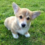 The Good Life with #Corgis, A to Z! #GetHealthyHappy