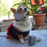 It's Halloween! Calling All #Corgis in Costumes!
