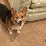 Thursday #Corgi Adoptables: Fergie and Brownie!